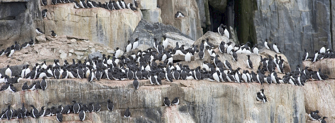 Murres on cliff. Photo: iStock